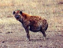 Preganimal Other Pregnant Hyena11