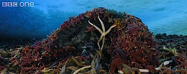 starfisheatseal.jpg