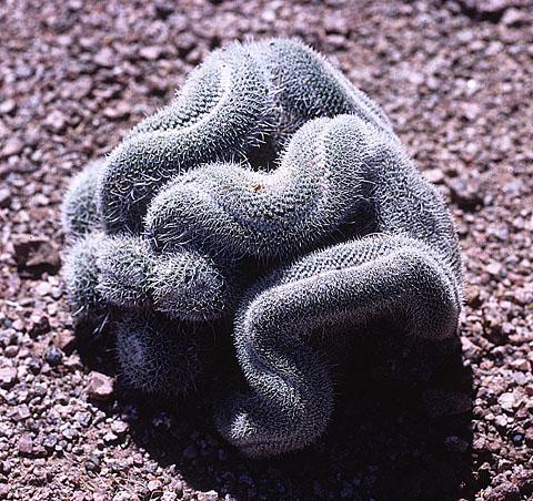 Arizona cactus-2