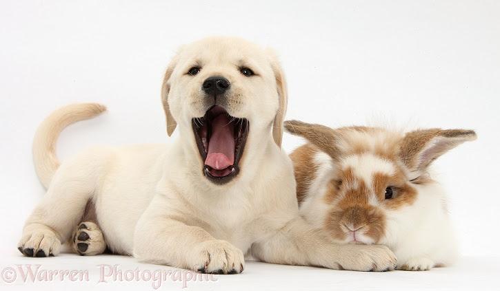 Labrador and bunny