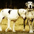 There are very few homes equipped to adopt one Great Dane, let alone two. Add in advanced age and congenital blindness, and it's not surprising that the former owners just […]