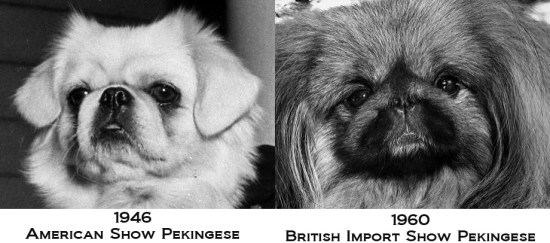 Pekingese_transformation_british_import