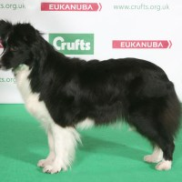 Inbred Crufts Border Collies