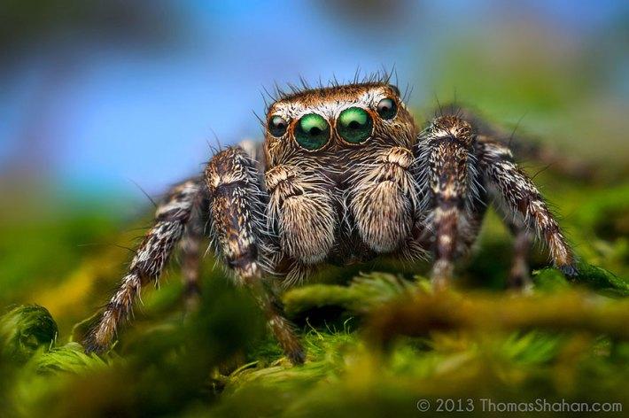 atlama-örümcekler-makro-fotoğraf-thomas-shahan-12