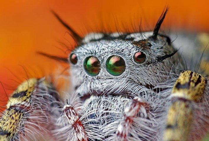 atlama-örümcekler-makro-fotoğraf-thomas-shahan-14