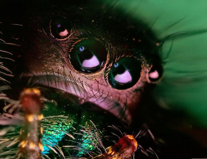 atlama-örümcekler-makro-fotoğraf-thomas-shahan-15