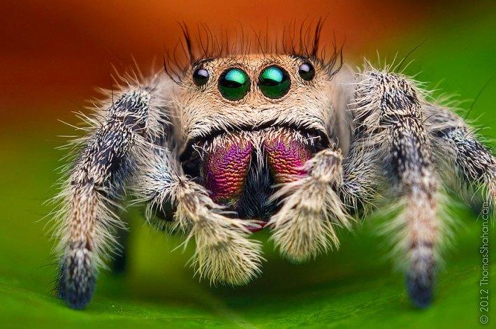 atlama-örümcekler-makro-fotoğraf-thomas-shahan-2