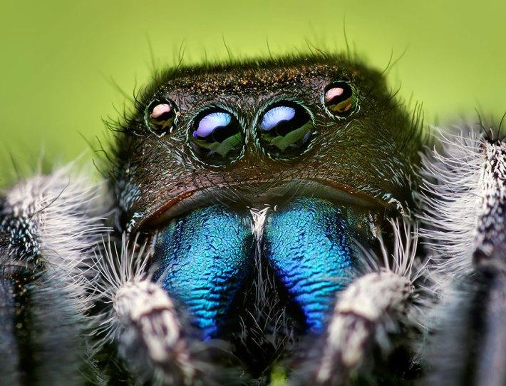 atlama-örümcekler-makro-fotoğraf-thomas-shahan-8