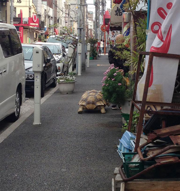 anciano-paseando-tortuga-sulcata-tokio-japon (3)