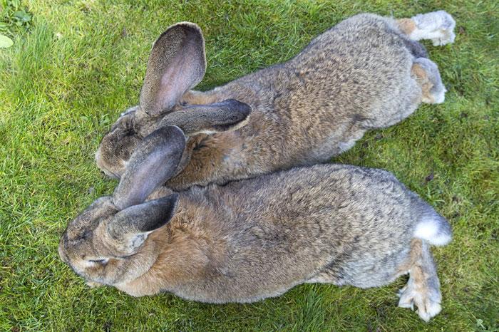 conejo-mas-grande-del-mundo (4)