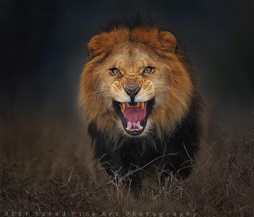 foto-leon-atacando-vida-salvaje-atif-saeed (1)
