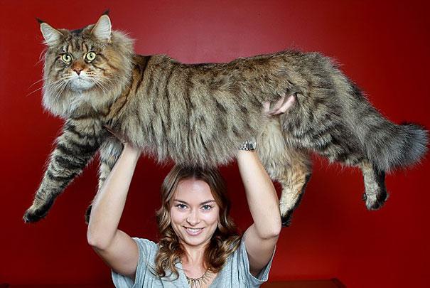 gatos-enormes (4)