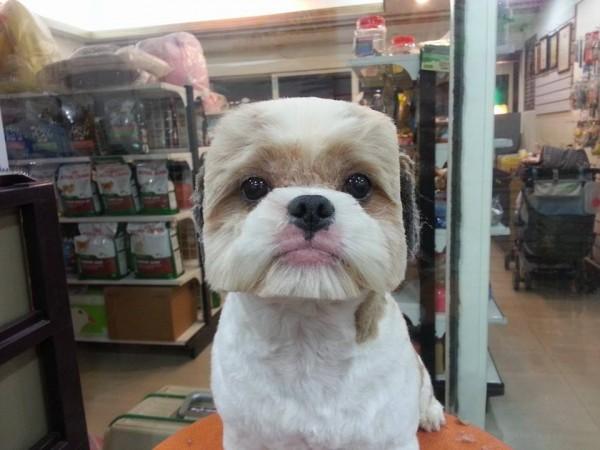 perros-corte-pelo-redondo-cuadrado-taiwan (4)