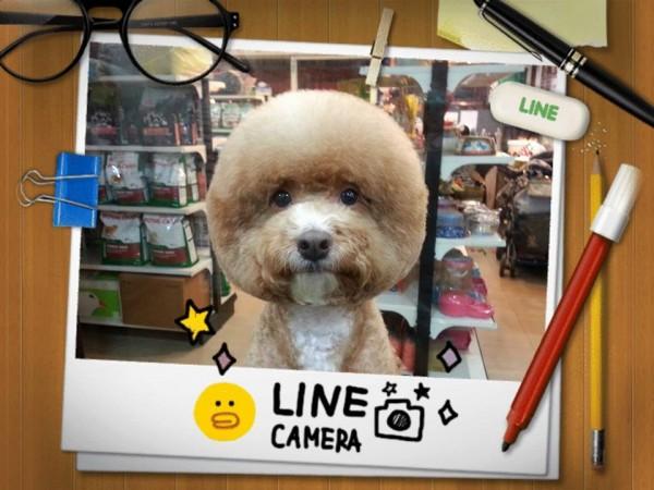 perros-corte-pelo-redondo-cuadrado-taiwan (8)