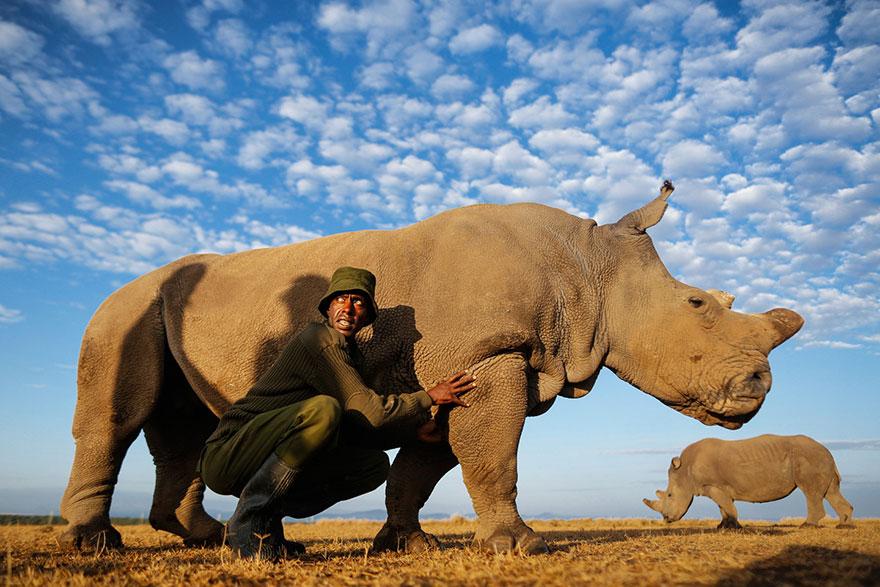 ultimo-rinoceronte-blanco-norte-protegido-kenia (9)