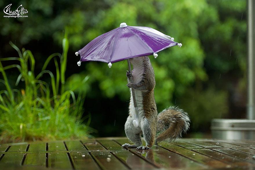 fotos-ardilla-paraguas-lluvia-max-ellis (3)