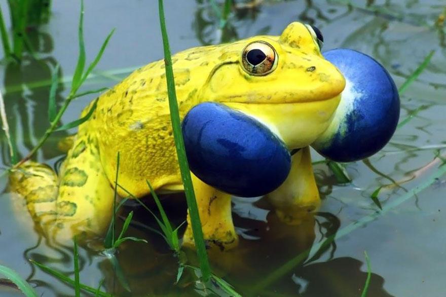 fotos-curiosas-ranas-anfibios (12)