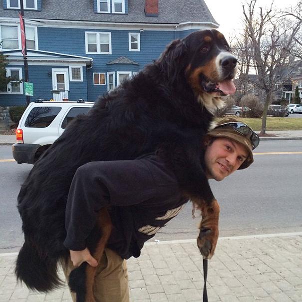 fotos-divertidas-perros-gigantes (14)