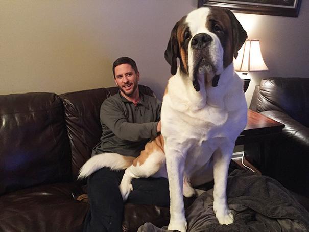 fotos-divertidas-perros-gigantes (37)