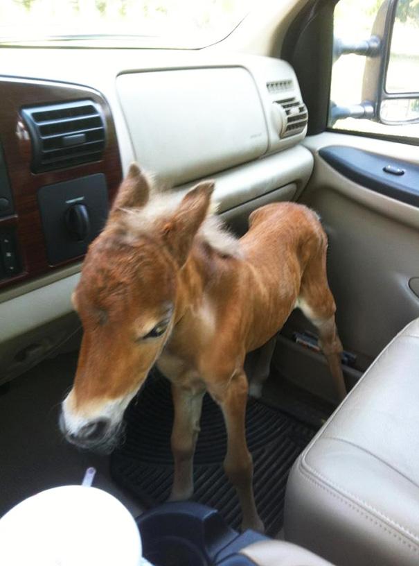 mini-caballos (5)