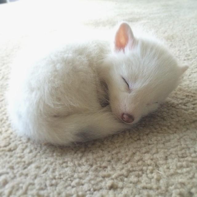 cachorro-zorro-blanco-rylai (15)