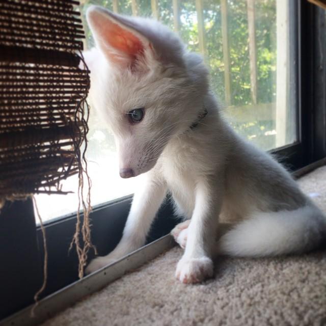 cachorro-zorro-blanco-rylai (4)