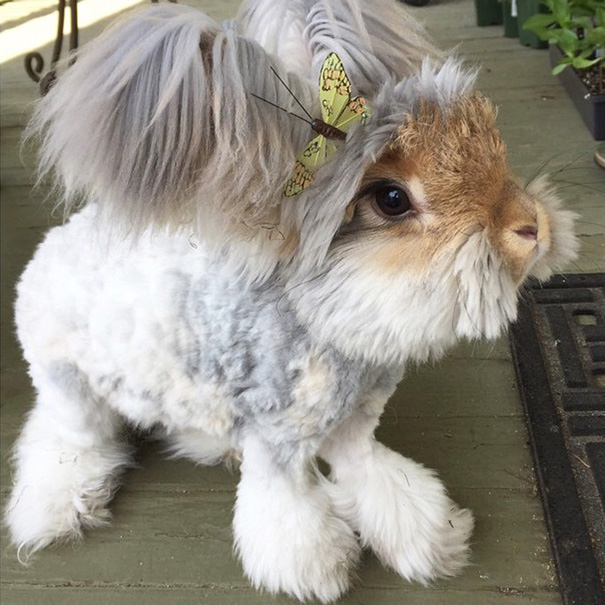 corte-pelo-orejas-conejo-angora-wally (7)