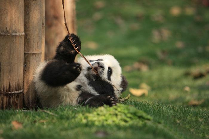 base-investigacion-chengdu-guarderia-osos-panda (13)