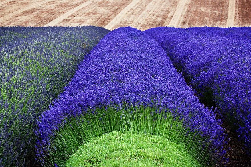 cosecha-campos-lavanda (2)