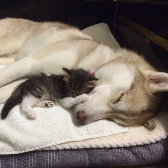 gatita-rosie-salvada-mama-adoptiva-husky-lilo (1)