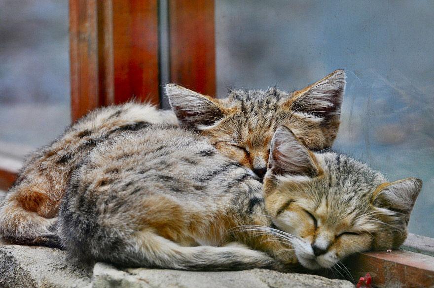 gatos-arenas-desierto-apariencia-gatito (8)