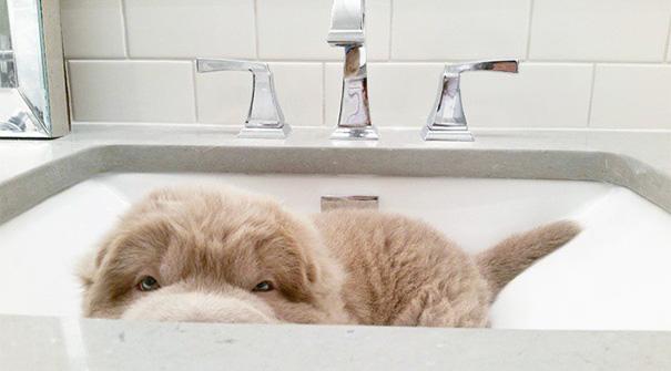perro-adorable-sharpei-parecido-oso-tonkey (5)