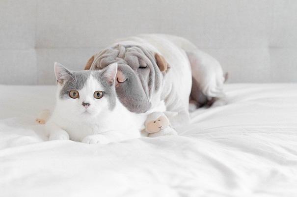 amistad-animal-sharpei-perro-gato-annie-jacobs (2)