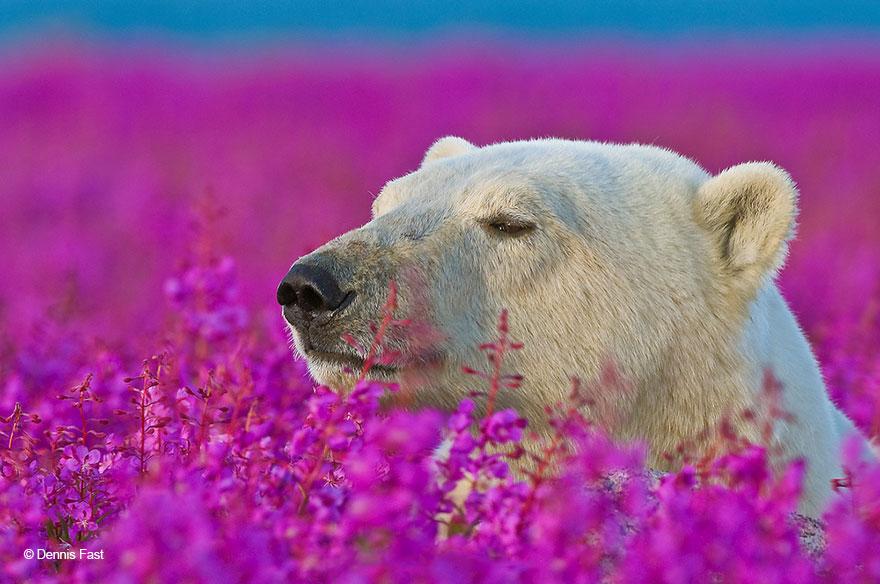 fotos-osos-polares-jugando-flores-dennis-fast (3)