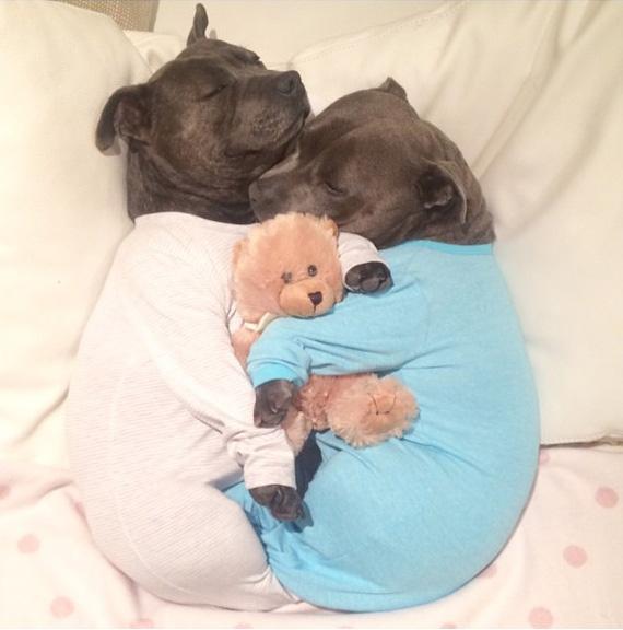 hermanos-perros-bull-terriers-blueboys-instagram (13)