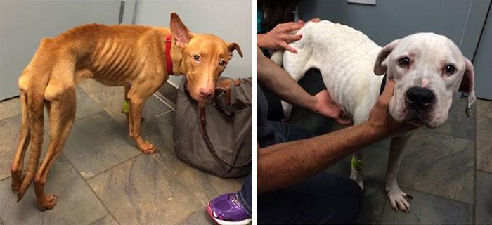 transformacion-perros-desnutridos-rescatados-trio-animal (4)
