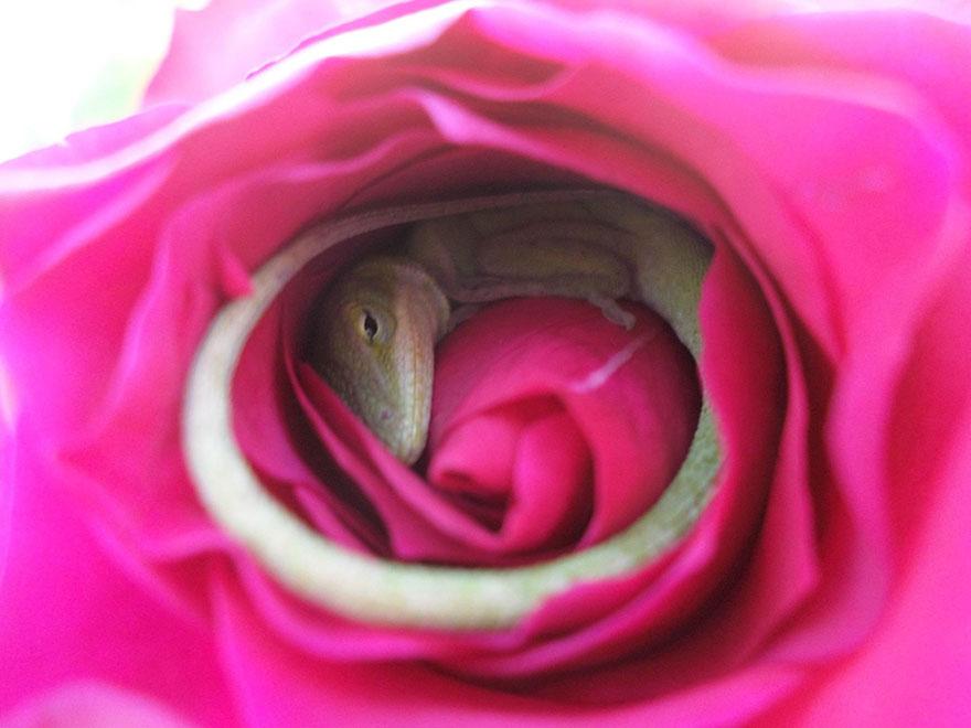 lagarto-durmiendo-rosa (2)