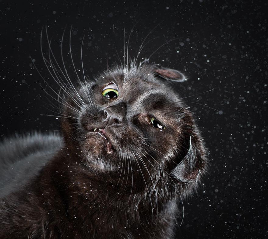 retratos-gatos-sacudiendose-carli-davidson (9)