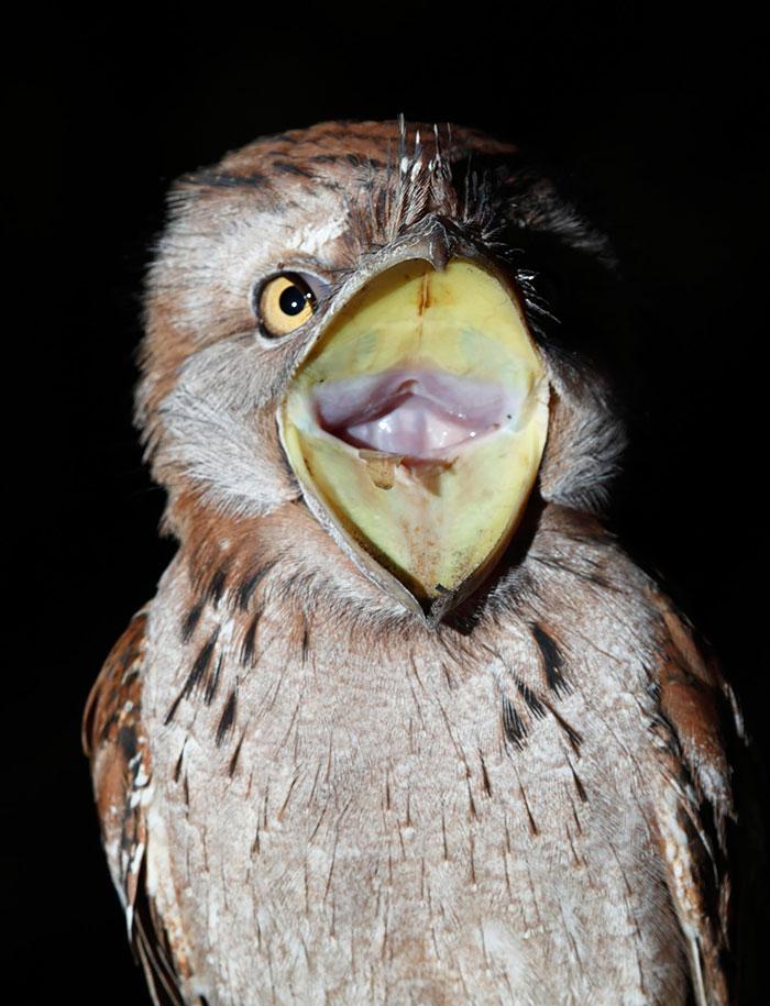 podargo-australiano-ave (4)