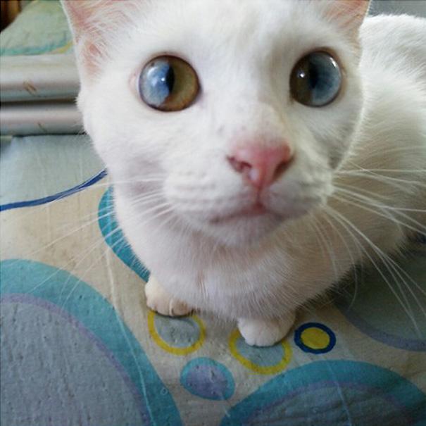 gato-ojos-multicolor-heterocromia-sectorial (2)
