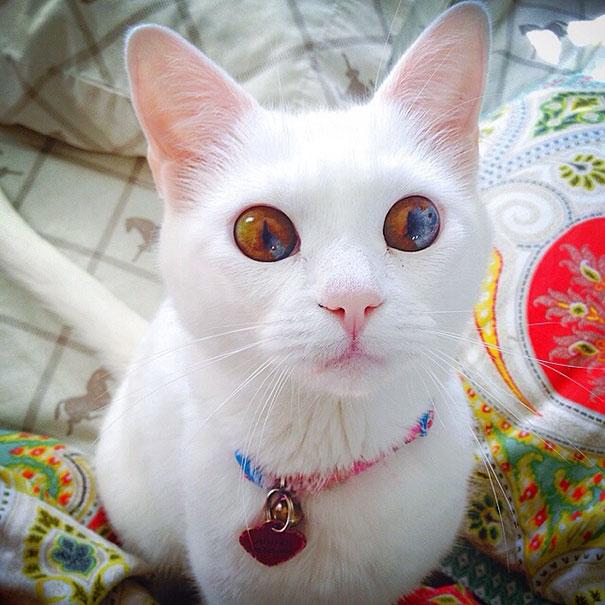 gato-ojos-multicolor-heterocromia-sectorial (9)