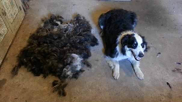 mascotas-soltando-pelo (44)