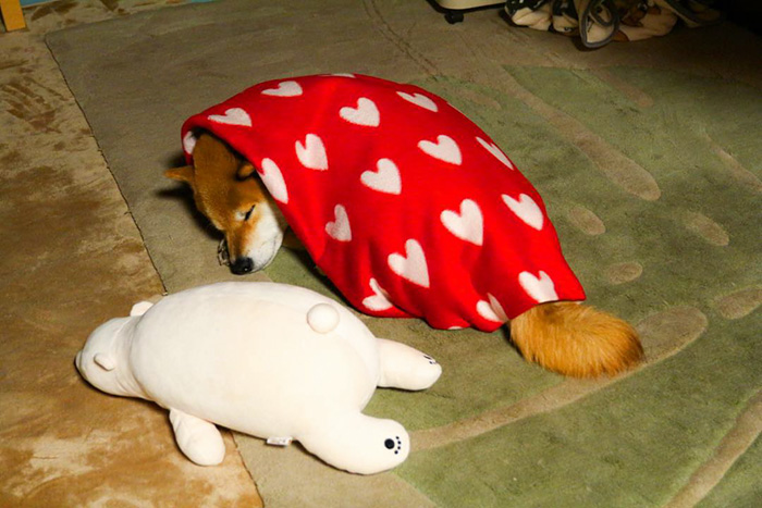 perro-shiba-inu-maru-dormir-igual-oso-peluche (1)