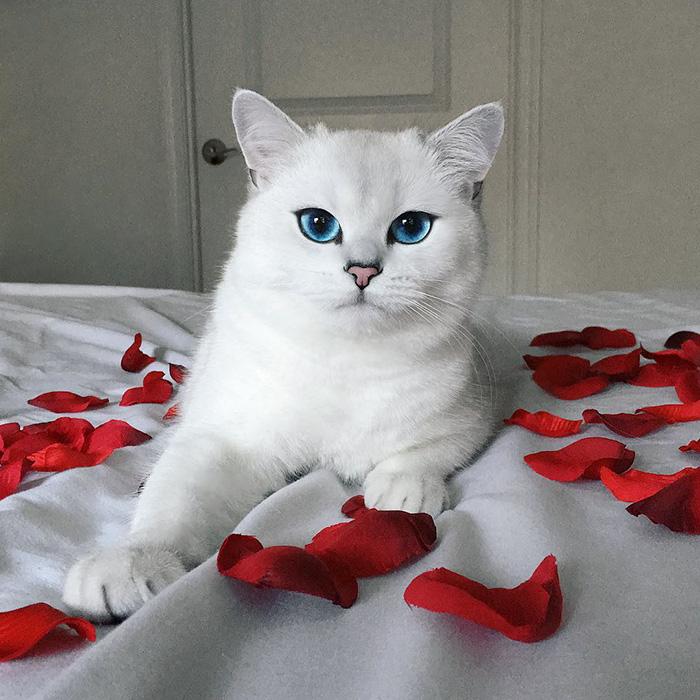 ojos-bonitos-gato-pelicorto-ingles-coby (6)