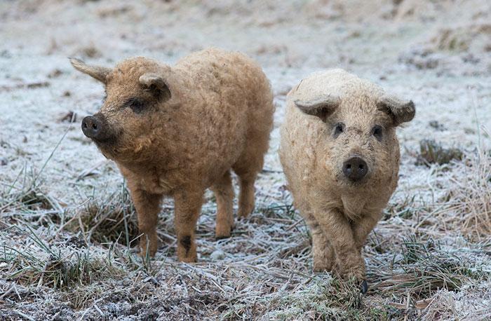 raza-cerdo-lanudo-mangalica (17)