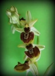 Ophrys esphegodes (hibrido)