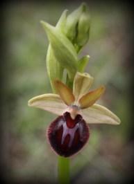 Ophrys esphegodes