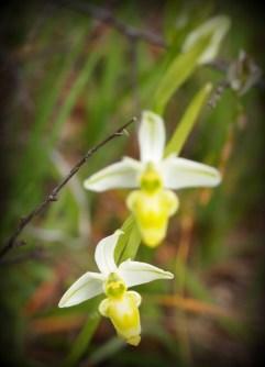 Ophrys escolopax (alba)
