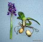 Orchis palustris