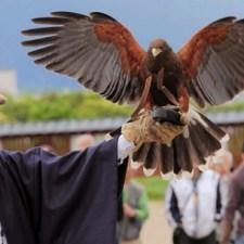 これも狩りの一形態。大鷹、ハリスホークなどを使う「鷹狩り」